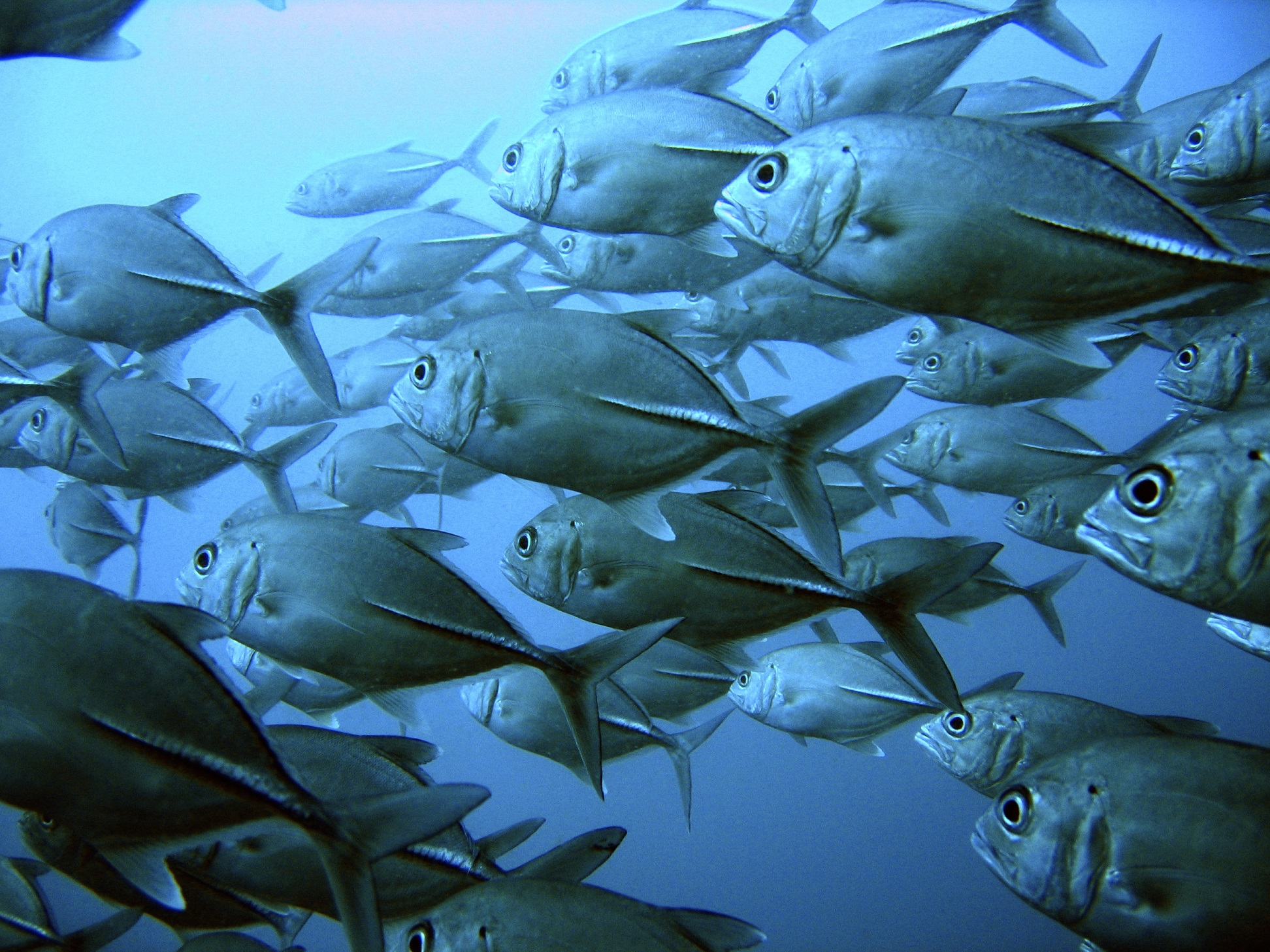 School of big eyed jack tuna